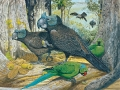 Broad-billed Parrot & Echo Parakeet