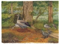 Mauritian Ducks & Geese