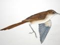 Aldabra Brush Warbler