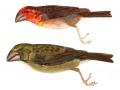Bonin Islands Finch