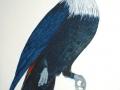 Mauritius Blue Pigeon