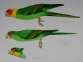 carolina-parakeet-adult-juvenile-and-subadult-tring-specimens