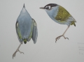 South Island Bush Wren