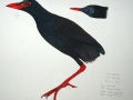 makira-gallinule-amnh-specimen