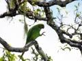 Echo Parakeet - Psittacula Echo